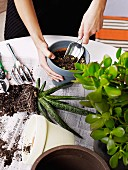 Woman's hands holding trowel repotting an aloe plant; money tree to one side
