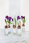 Flowering crocus bulbs in small bulb vases