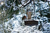 Robin at feeding station in winter landscape