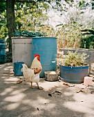 Cockerel in farm yard