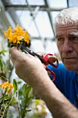 A man cutting flowers in a green house