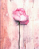 Pink rose lying on wooden surface