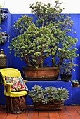 Chair with yellow cover next to tub of succulents on floor in front of blue wall with masonry bench and old jade tree in large planter