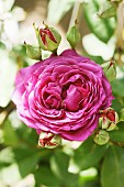 Purple, nostalgic rose 'Old port'