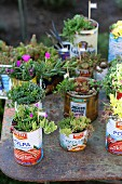Succulents planted in old tin cans