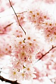 Japanese flowering cherry blossom