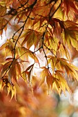 Autumn maple tree (close-up)