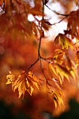 Autumn maple tree (close-up)
