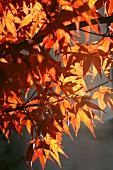 Maple tree with autumn foliage