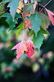 Red autumn leaves on tree
