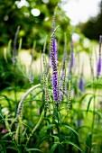 Violett blühende Blume (Veronika, Ehrenpreis) im Garten