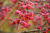 Frozen branches of spindle berries (Euonymus)