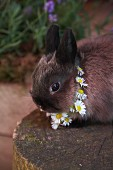 A rabbit wearing a daisy chain around its neck