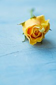Yellow rose on light blue surface