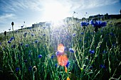 Cornflowers in bright, sunny field with lens flare
