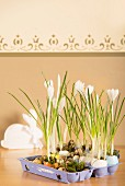 Egg box and egg shells used as planter for crocuses