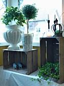 Verschiedene Pflanzengefässe mit Bäumchen und Kletterpflanze auf rustikalen Holzkisten vor dem Fenster
