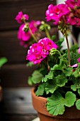 Potted pink geraniums