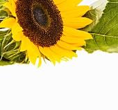 Blühende Sonnenblume, oben angeschnitten