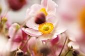 Rosafarbene Anemonen