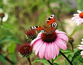 Peacock butterfly on purple echinacea