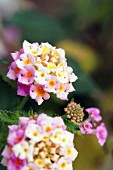 Blüten des Wandelröschens (Lantana Camara)