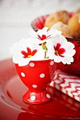 White and red primulas in red eggcups as spring decoration