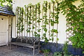Weathered wooden bench in front of climbing plants on trellising on white external wall