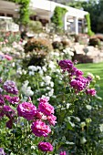 Purple rose (Rosemary Ladlau) in lush herbaceous border outside house in blurred background
