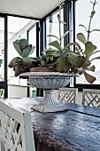 Mit Sukkulenten bepflanzte Amphore auf rustikalem Holztisch mit traditionellen weiss lackierten Stühlen in Loggia ähnlichem Raum mit Vintage Flair