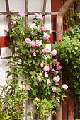 Pink climbing rose on wooden trellis on house facade
