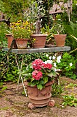 Red hydrangea in terracotta pot in front of potted olive tree and violas on potting table
