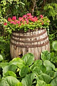 Old wooden barrel planted with flowering geraniums in garden