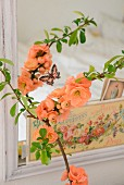 Branch of salmon pink flowering quince (Chaenomeles) in front of nostalgic postcards tucked in frame of mirror