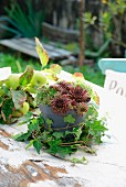 Houseleek (sempervivum) in grey pot surrounded by ivy in front of apple branch on old, rustic garden table