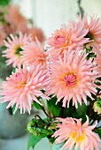 Bouquet of salmon pink dahlias