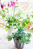 Succulents in ceramic pot in front of vase of aquilegia and cow parsley on rustic wooden surface
