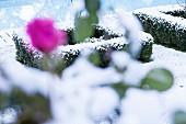 Verschneite, mit Buchsbaumhecken eingefasste Beete und magentafarbene Rosenblüte unscharf im Vordergrund