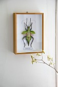 Exotic insect mounted and framed in display case on wall