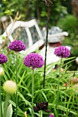 Alliums in garden next to garden bench