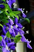 Purple flowering clematis