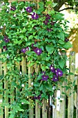 Purple-flowering clematis on garden fence