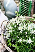 Flowering edelweiss in wicker planter