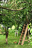 Apple trees & ladder leaning on cherry tree in garden