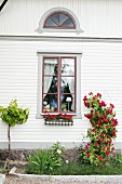 Red rose climbing on white wooden facade of country house with lattice windows
