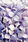 Pale lilac hydrangea flowers