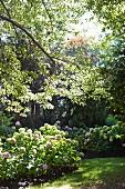 Hydrangea bushes in summery garden