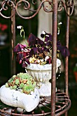 Red oxalis and sempervivums on metal plant stand in garden