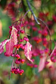 Fruit on branch of spindle (Euonymus europaeus)