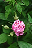 Pink remontant rose